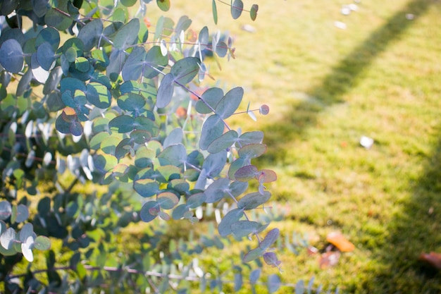 10월에 그리스 꽃 가게에서 유칼립투스 베이비 블루 식물의 신선한 자른 가지. 수직의. 확대.