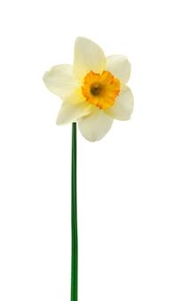 白で隔離され、新鮮な水仙の花