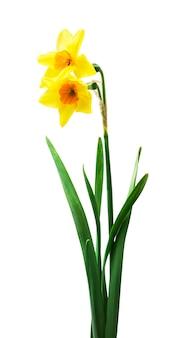 Свежие цветы нарциссов на белом фоне