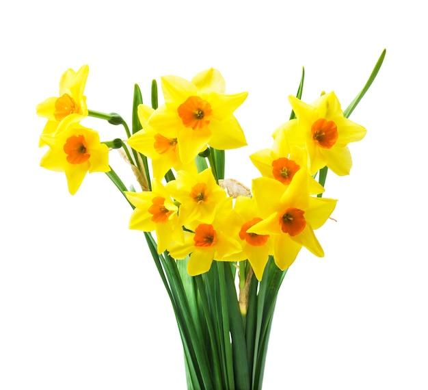 흰색 배경에 고립 된 신선한 수 선화 꽃
