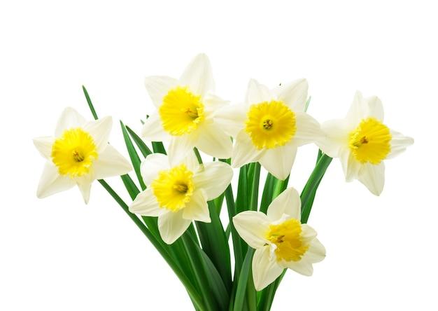 신선한 수 선화 꽃, 흰색 절연