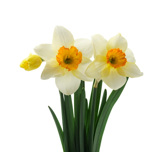 Fresh daffodils flowers, isolated on white