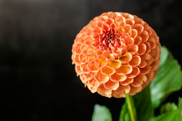 新鮮なダリアの花黒の背景に水滴とオレンジ色のダリアの花。
