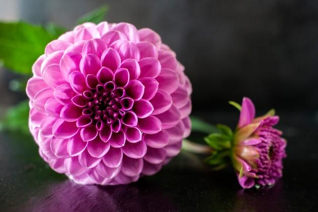 新鮮なダリアの花黒の背景に水滴とピンクのダリアの花。