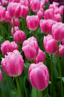 Fresh delicate pink tulips in a garden greenhouse.