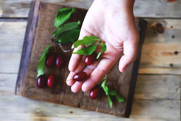 手で新鮮なハナミズキの果実。ハナミズキの葉。