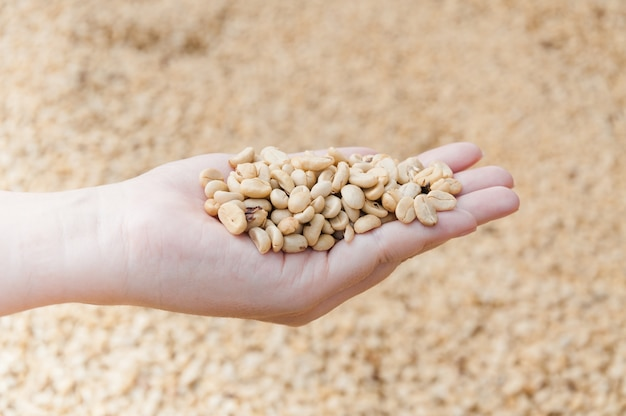 Fresh dry coffee beans in women farmer hand
