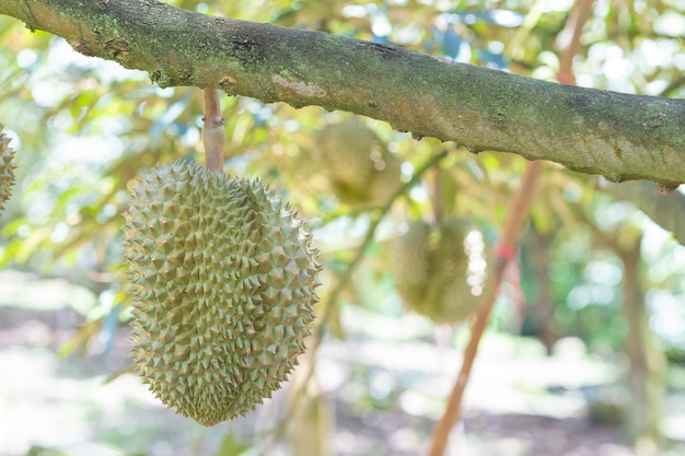 Fresh durian fruit on the tree in the garden,