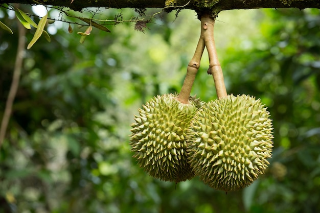 Fresh durian in the orchard
