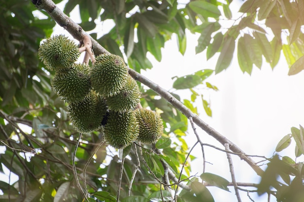 Durian Tree Vectors, Photos and PSD files | Free Download