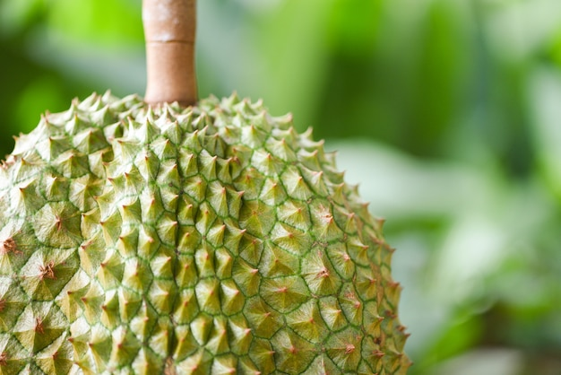 Fresh durian tropical fruit garden on nature green