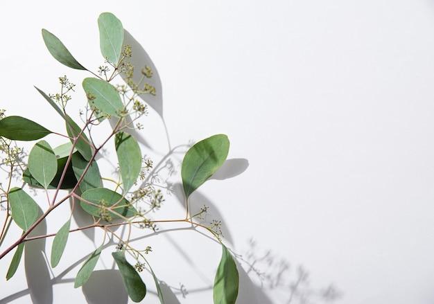 Ветвь свежего эвкалипта на белом фоне с жесткими тенями. вид сверху и копирование космического изображения