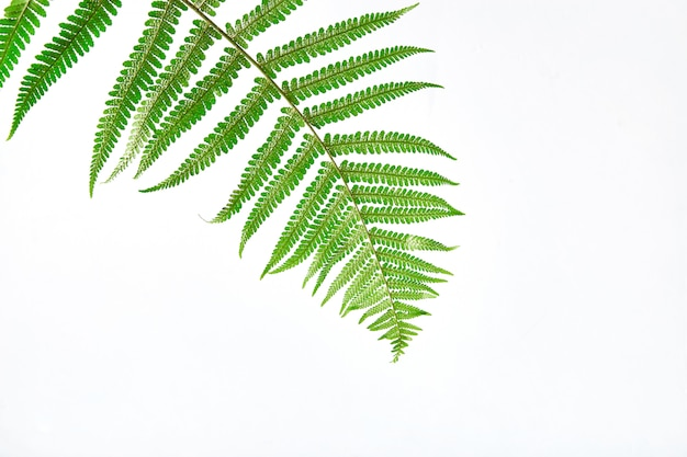 Fresh fern branch isolated on white background