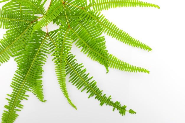 신선한 펀 분기 잎 흰색 배경 평면도에 고립.