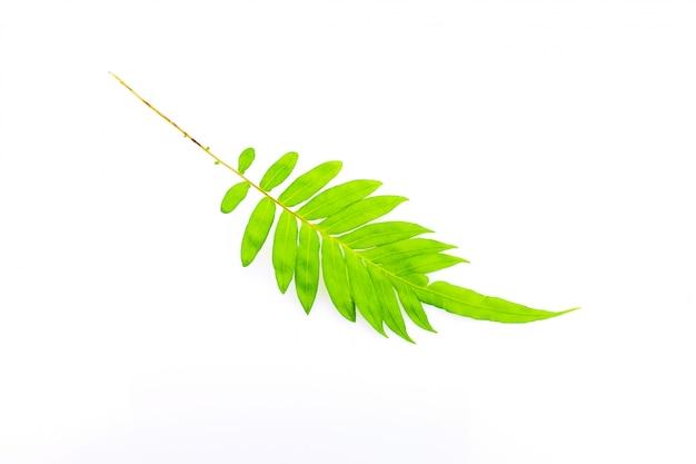 신선한 고비 잎 흰색 절연