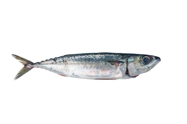 新鮮な魚のサバ