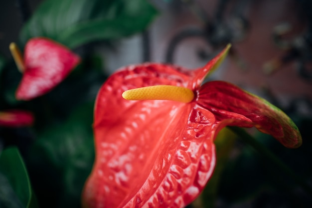 Fresh flamingo flower or boy flower in the garden.
