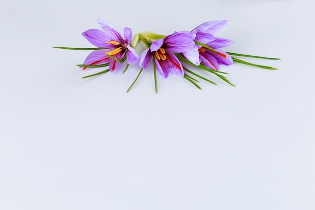 白い背景の上の新鮮な花とサフランの葉。