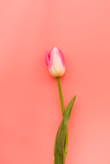 Fresh fragile pink and white tulip