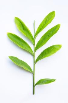 白い表面に分離された新鮮なガランガルの葉