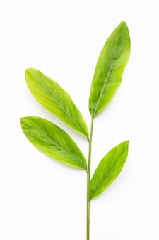 Fresh galangal leaves on white