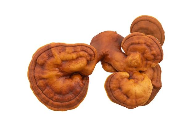 신선한 ganoderma lucidum 또는 reishi, lingzhi 버섯은 클리핑 패스와 함께 배경에 격리되어 있습니다.