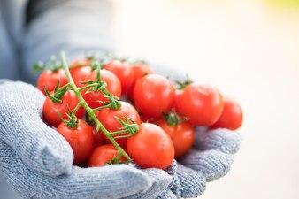 新鮮なトマトまたは農家の手に熟したおいしい赤い有機トマトが集まった。
