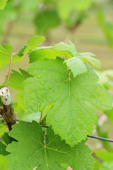 Fresh grapes new sprouting in the vineyard