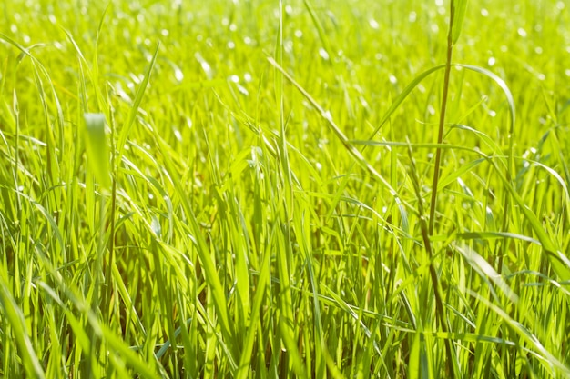 Fresh grass in the sunlight. green natural background