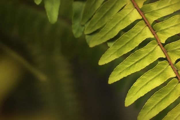 背景がぼやけた森の新鮮なシダの葉。