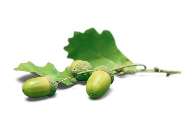 Свежие зеленые желуди, изолированные на белом фоне.