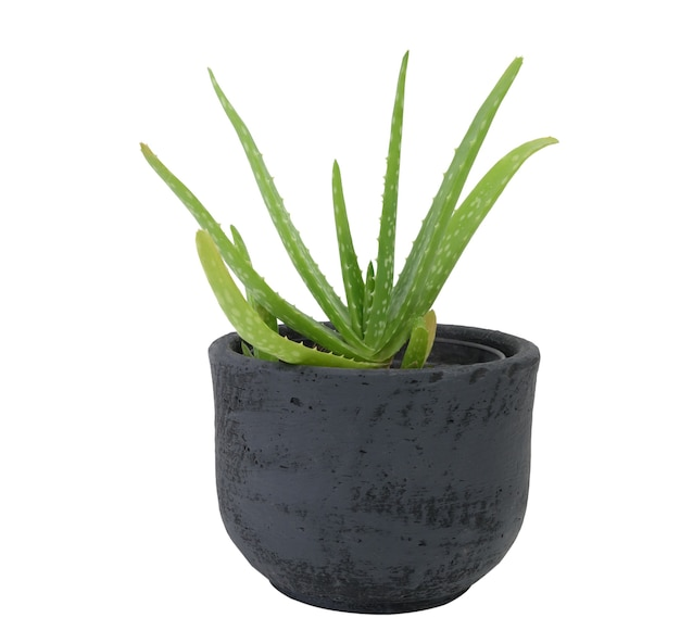Fresh green alo vera in black potted isolated on white background plant soothing sap used or healing and medicinal purposes is derived