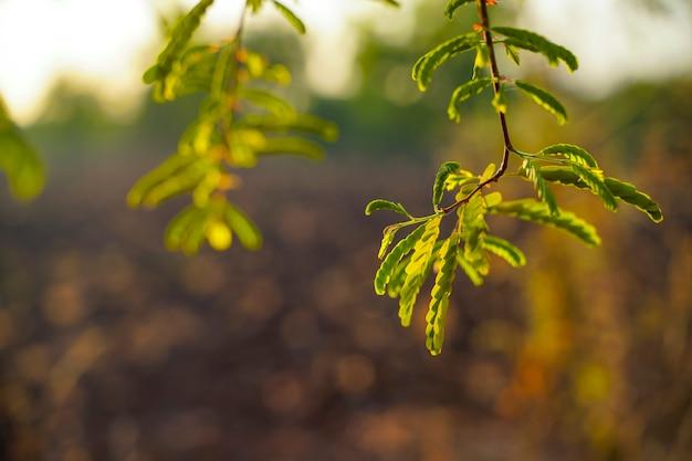 Fresh green amla tree leave