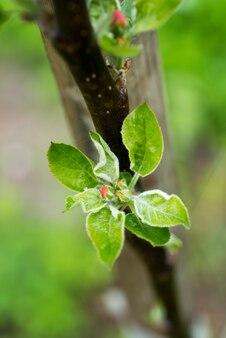 春までに開く新鮮な青リンゴの木のつぼみ