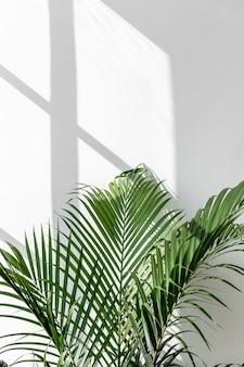 Fresh green areca palm leaf by a white wall