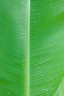 Свежий зеленый банановый лист с каплей воды и крупным планом текстуры