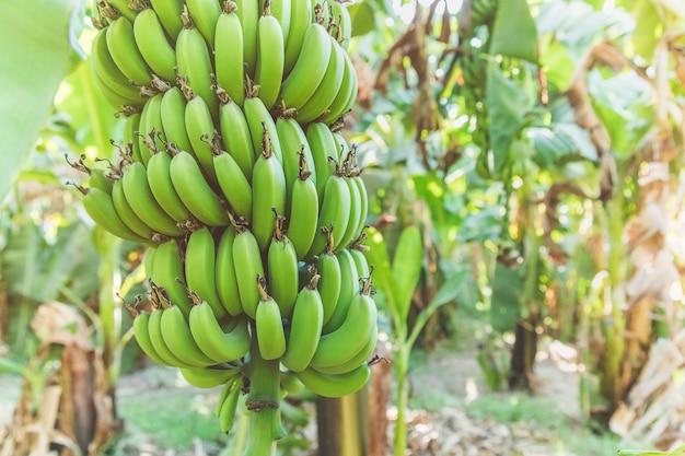 Свежие зеленые бананы, растущие на дереве