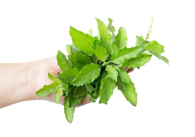 신선한 녹색 바 질 허브 잎 흰색 절연입니다. 달콤한 제노 베제 바질