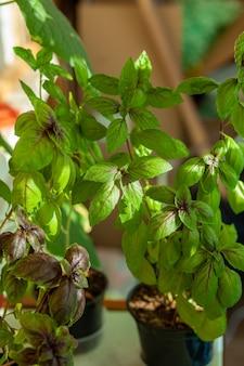 냄비에 있는 신선한 녹색 바질은 집, 발코니에서 자랍니다. 녹색 바질 잎은 요리할 준비가 되었습니다. 피자, 샐러드 및 기타 음식 요리를 위한 신선한 허브