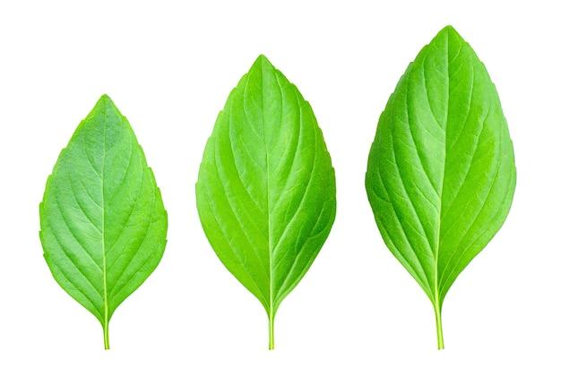 Свежие зеленые листья базилика на белом, вид сверху