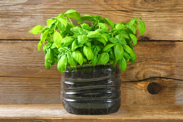 Fresh green basil plant for healthy cooking, herbs and spices.