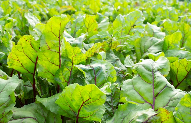 新鮮な緑のビートは、庭のベッドで成長しているクローズアップを残します。ビートの葉のフィールド。