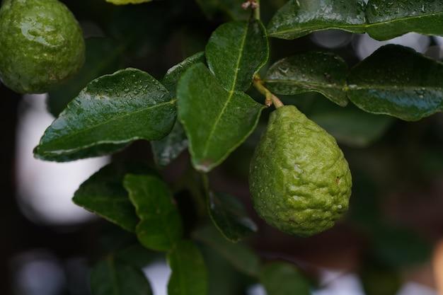 Fresh green bergamot thai herb for spa and hair treatment