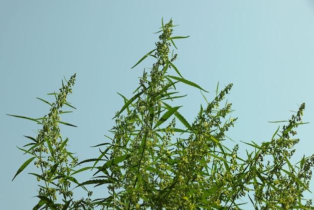 푸른 하늘 위에 꽃이 만발한 신선한 녹색 대마초 또는 대마는 새싹과 꽃을 남깁니다