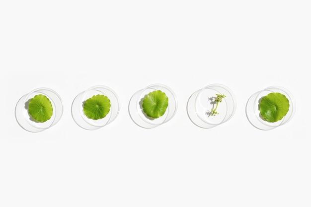 白い表面のペトリ皿に新鮮な緑のセンテラアジアの葉。