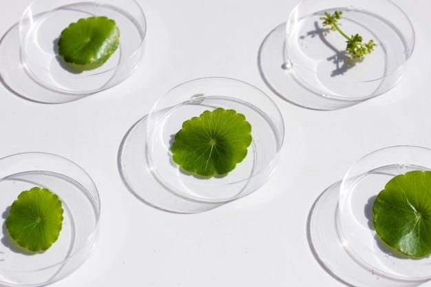 白い背景にペトリ皿に新鮮な緑のツボクサを残します。