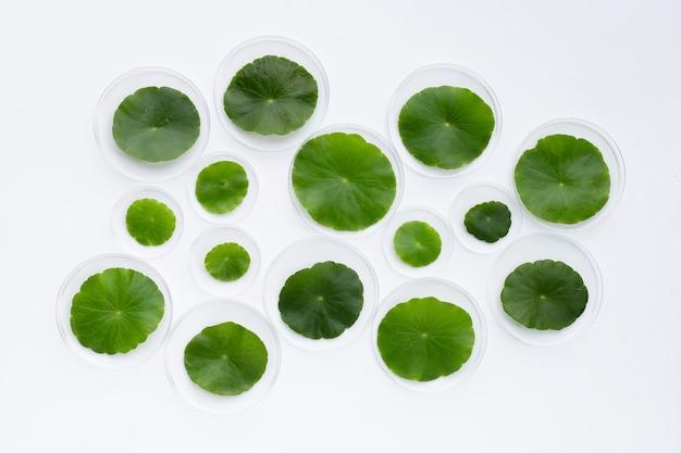 新鮮な緑のツボクサは、白い背景の上のペトリ皿に残します。