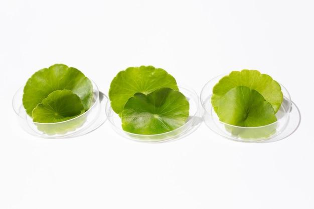 신선한 녹색 센텔라 아시아티카는 흰색 바탕에 페트리 접시에 남습니다.