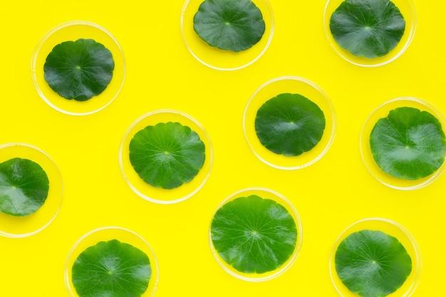 黄色の背景にペトリ皿に新鮮な緑のツボクサの葉。