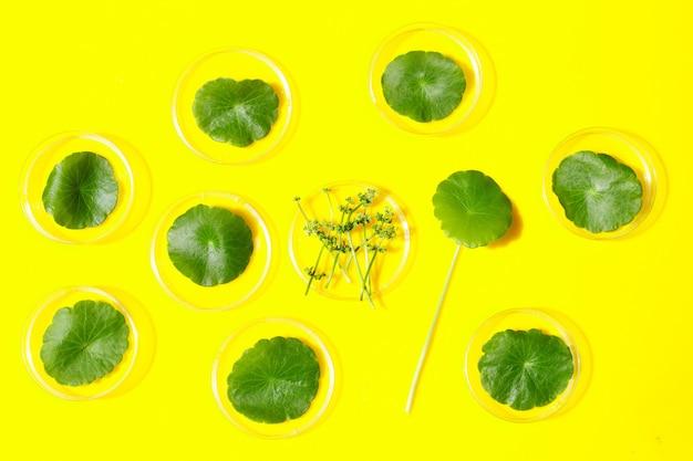Свежие зеленые листья центеллы азиатской в чашках петри на желтом фоне.